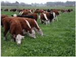 Descripción del ganado de engorde como commodity